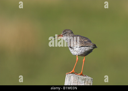Redshank Tringa totanus adult perched on fence post alarm calling on Benbeccula, Scotland in May. - Stock Photo