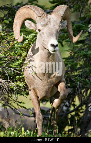 Bighorn sheep, Ovis canadensis, emerges from the trees along the Hidden Lake Trail near Logan Pass Glacier National - Stock Photo