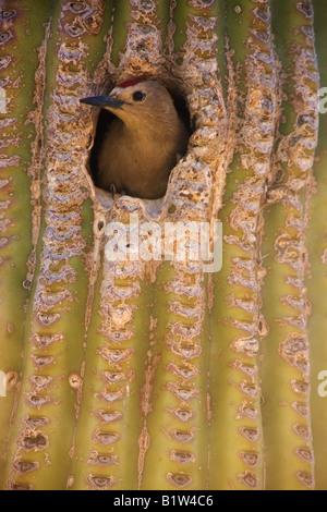 A Gila Woodpecker  at a nest cavity in a saguaro cactus McDowell Mountain Regional Park near Fountain Hills near - Stock Photo