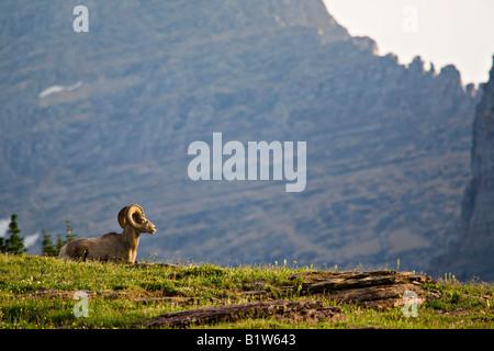 A bighorn sheep, Ovis canadensis, rests along a ridge near Logan Pass Glacier National Park Montana - Stock Photo