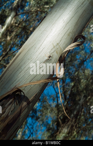 Close up from a knot branch having a silver shine bark rind. In the background blue sky and forest - Stock Photo