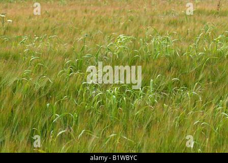Wild oats Avena fatua beginning to flower in a weak barley crop in green ear - Stock Photo