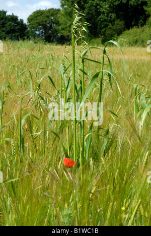Wild oats Avena fatua flowering in a weak barley crop in green ear - Stock Photo
