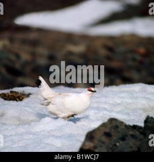 lagopede Alpenschneehuhn Ptarmigan Lagopus mutus Lagopus muta female walking on snow Alpen Schneehuehner Alpen Schneehuhn animal