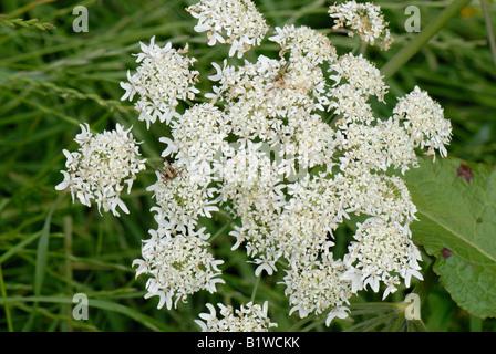 Hogweed Heracleum sphondylium flowering umbel - Stock Photo