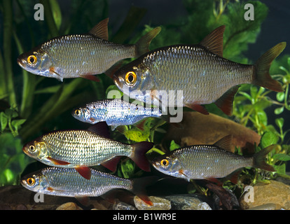 Common Rudd (Scardinius erythrophthalmus) . Group under water. Germany - Stock Photo