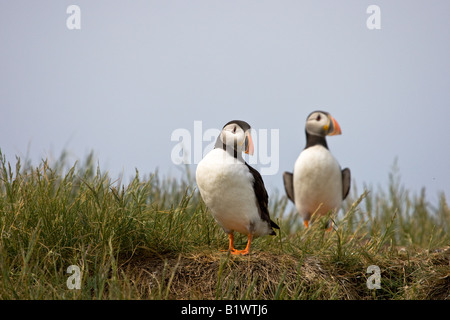 Two Atlantic Puffins (Fratercula arctica) standing on a rock looking out to sea - Stock Photo