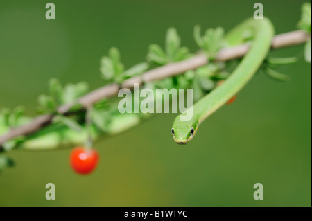 Rough Green Snake Opheodrys aestivus adult on berry bush Refugio Coastel Bend Texas USA April 2008 - Stock Photo