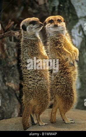two meerkats - standing on stone - Stock Photo