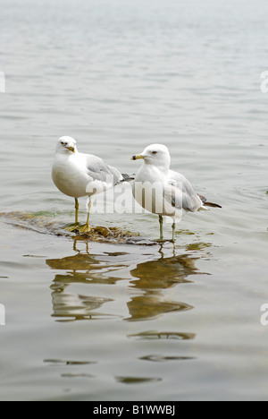 Pair of Herring Gulls / Seagulls, Mississauga, Port Credit area - Stock Photo