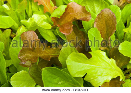 Baby salad leaves. - Stock Photo