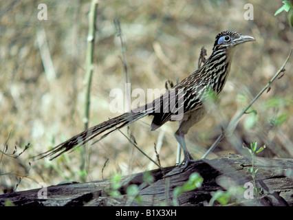 Lesser Roadrunner Geococcyx velox Alamos Sonora MEXICO September Adult Cuculidae - Stock Photo