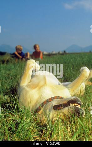 labrador retriever - wallows in grass - Stock Photo