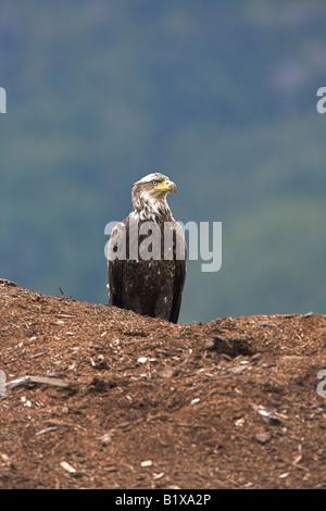 Bald Eagle Haliaeetus leucocephalus immature sitting on a huge mound of fish meal near Telegraph Cove, Vancouver - Stock Photo