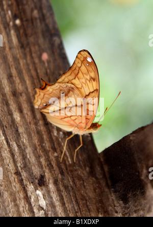 Male Cruiser Butterfly, Vindula dejone, Nymphalidae, South Asia - Stock Photo