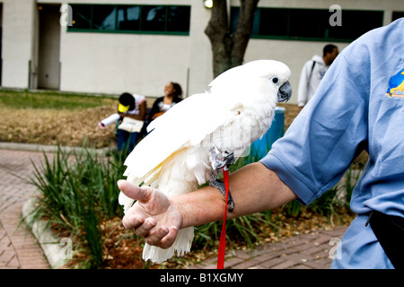 Cockatoo perched on a woman's arm with a leash. - Stock Photo