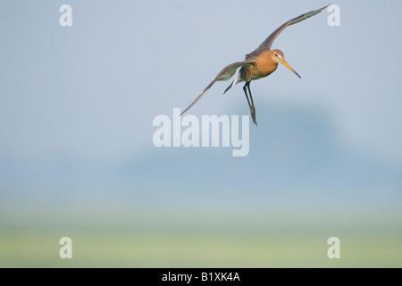 Godwit in Flight - Stock Photo