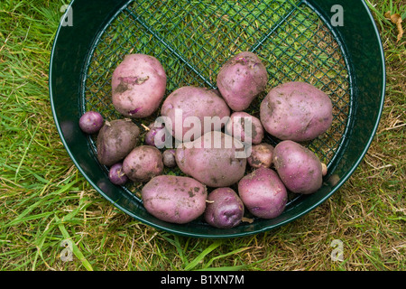 "Freshly dug home grown ""Edzell Blue"" heritage variety potatoes in metal garden sieve on grass - Stock Photo"