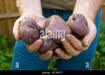 "Freshly dug home grown ""Edzell Blue"" heritage variety potatoes in man's hands with potato plants and garden in background - Stock Photo"