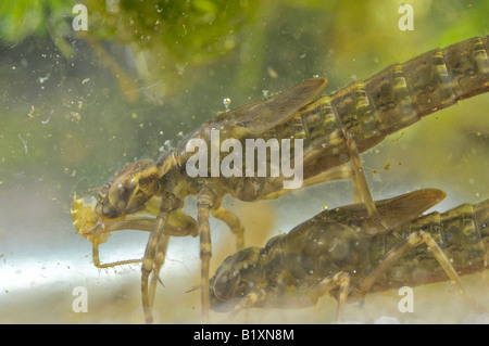 Common Hawker dragonfly larva in pond eating prey - Stock Photo