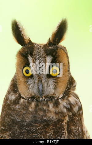 Long Eared Owl Captive Vertical - Stock Photo