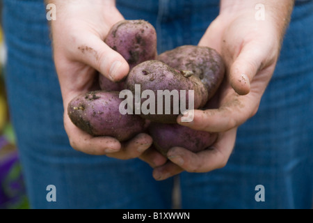 "Freshly dug home grown ""Edzell Blue"" heritage variety potatoes in man's hands - Stock Photo"