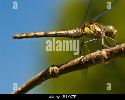 Common Darter Sympetrum striolatum (Anisoptera) Female - Stock Photo
