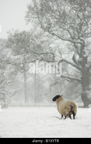 Sheep, Suffolk cross Suffolk ram and North Country Mule ewe, in snow, North Downs, Kent, England. - Stock Photo