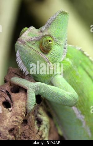Yemen Veiled Chameleon aka Cone-headed Chameleon or Casqued Chameleon Chamaeleo calyptratus, Saudi Arabia and Yemen - Stock Photo