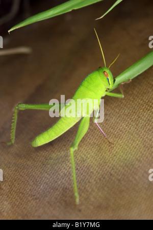 Vagrant Grasshopper or Gray Bird Grasshopper Nymph Stage Schistocerca nitens - Stock Photo