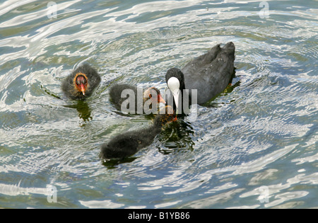 Coot with Three Young Chicks, Fulica atra, Rallidae - Stock Photo