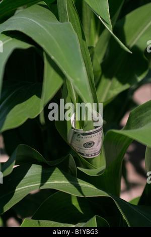 Money in corn plant - Stock Photo