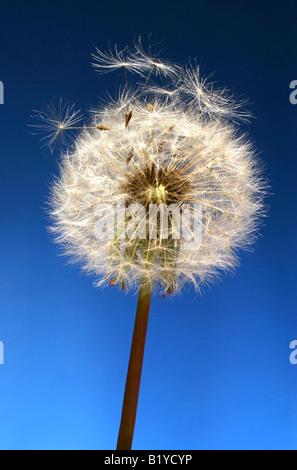 Dandelion Objects on blue background