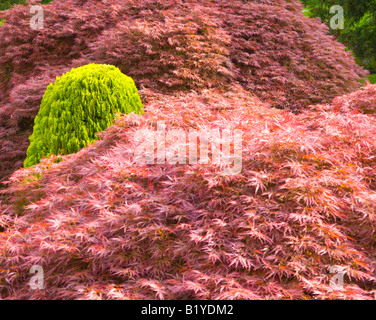 Japanese acers with a small conifer - Stock Photo