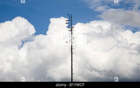 Dead standing tree - Stock Photo