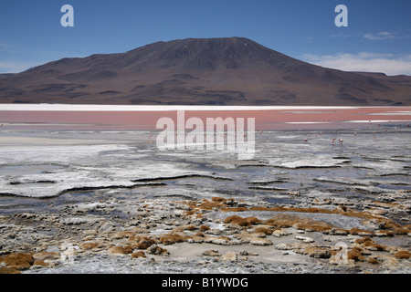 Andean Flamingos feed in the water of Laguna Colorada, South Western Bolivia - Stock Photo