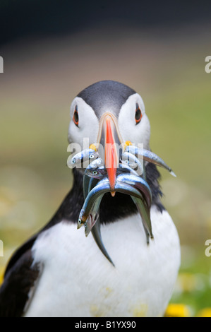 Fratercula arctica. Atlantic Puffin with sand eels on a cliff top on Skomer Island, Wales - Stock Photo