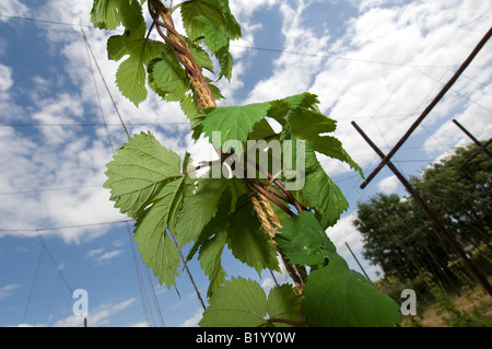 Hops growing in a field in Kent UK - Stock Photo