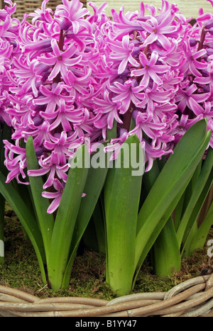 Hyacinth Pink Elephant - Stock Photo