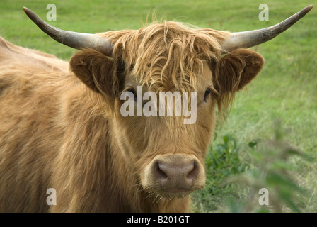 Highland Cattle in Hertfordshire, England, UK. - Stock Photo