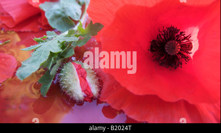 red open poppy with closed flower bud - Stock Photo