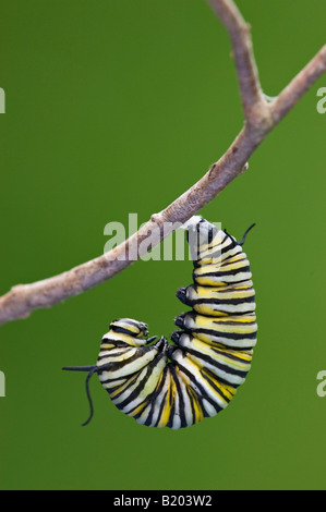 Monarch Butterfly Caterpillar Beginning to Pupate - Stock Photo