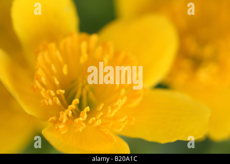 Closeup of Caltha palustris, Kingcup, Marsh Marigold flower, - Stock Photo