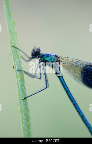 Calopteryx splendens. Banded Demoiselle Damselfly covered in dew drops - Stock Photo