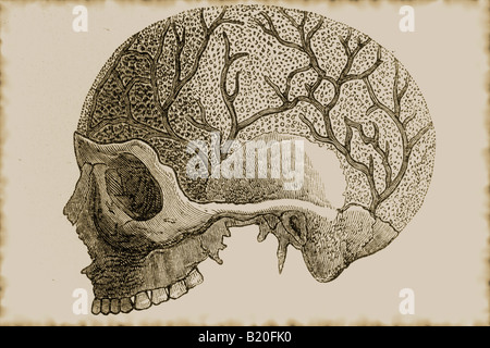 ILLUSTRATION SKULL SHOWING CHANNELS FOR VEINS - Stock Photo