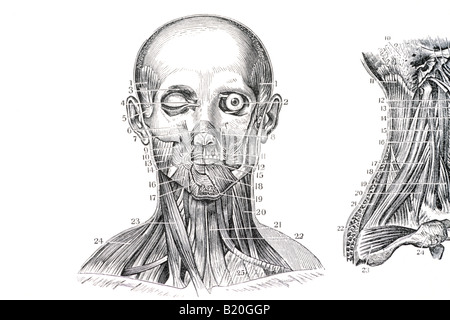 ILLUSTRATION MUSCLES OF THE FACE AND NECK - Stock Photo