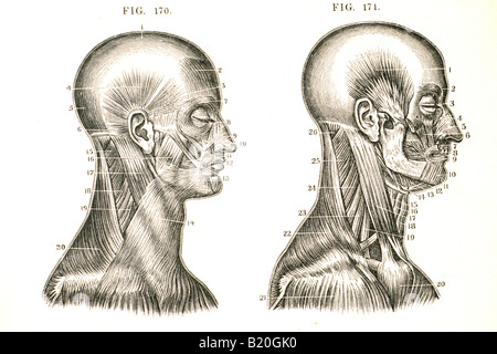 ILLUSTRATION MUSCLES OF THE HEAD AND NECK - Stock Photo