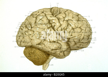 ILLUSTRATION CONVOLUTIONS RIGHT HEMISPHERE OF BRAIN - Stock Photo