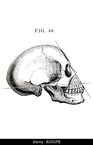 ILLUSTRATION HUMAN SKULL LATERAL VIEW - Stock Photo