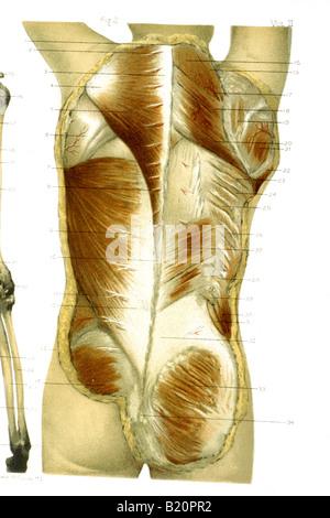 Adult male anatomy